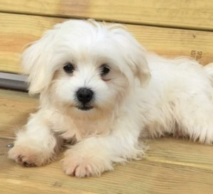 AKC Male Maltese, Elvis
