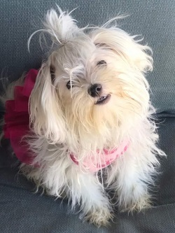AKC Female Maltese, Lisa Marie