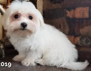 AKC Female Maltese, Priscilla