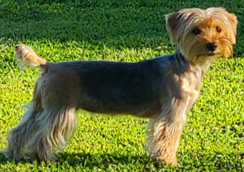 AKC Traditional Female That Carries Chocolate, Parti & possibly Blonde Yorkie Daisey
