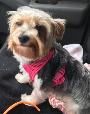 AKC Parti That Might Carry Chocolate & Blonde Female Yorkie Gemma