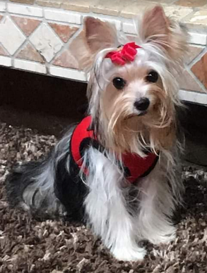 AKC Traditional That Carries Chocolate & Parti Female Yorkie Mia
